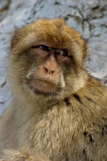 Barbary macaque looking away in annoyance by Sami Sarkis Photography