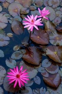 Rf-beauty-floating-pond-water-lilies-yangshuo-chn1955