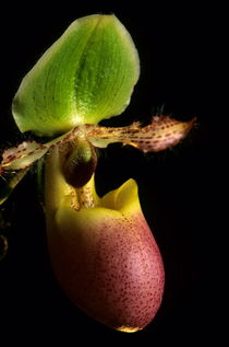 Orchid (paphiopedilum pinochio) by Sami Sarkis Photography