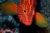 Rm-dots-underwater-vermillon-rock-cod-uwmld0545
