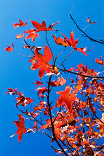 Autumn leaves on tree. by Sami Sarkis Photography