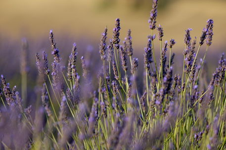Rm-field-flowers-france-lavender-valensole-lds338