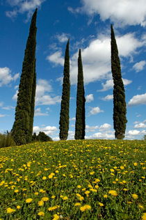 Rf-cypress-trees-france-meadow-wildflowers-var807