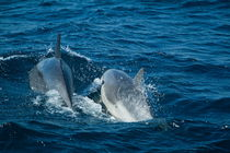 Rm-bottlenose-dolphins-sea-together-adl1631