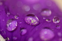 Drops on a purple petal of a viola pansy flower after rain shower. by Sami Sarkis Photography
