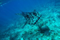 Rf-reef-sea-underwater-whale-shark-uwmld0102