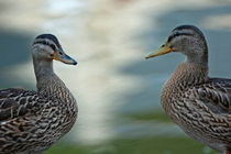 Rf-ducks-face-to-face-mates-wildlife-brt0569