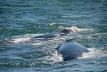 Southern-right-whales-breaching-south-africa-alrf-saa-fna6822