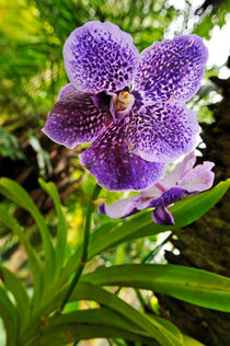 Purple-orchids-garden-hawaii-rm-haw-d319224