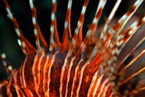 Rf-spotfin-lionfish-striped-underwater-uwmld0332