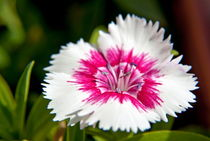 Wild carnation flower dianthus sp by Sami Sarkis Photography