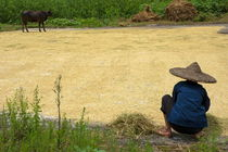 Old woman checking harvested rice drying on the ground by Sami Sarkis Photography