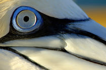 The eye of a Northern Gannet (Morus bassanus) by Sami Sarkis Photography