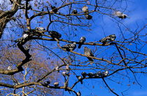 Rm-flock-perched-pigeons-tree-var010