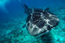 Rf-maldives-sea-underwater-whale-shark-uwmld0090