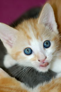 Rm-alert-cute-head-portrait-russet-kitten-ani151