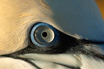 Rf-eye-gannet-wildlife-ani212