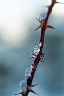 Ice on a bramble branch in winter by Sami Sarkis Photography