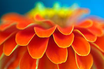 Orange common zinnia (zinnia elegans) in garden. von Sami Sarkis Photography