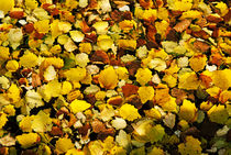 Autumn leaves in a river. von Sami Sarkis Photography