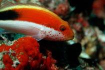 Rm-forster-hawkfish-sealife-underwater-uwmld0551
