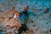 Eye of a common cuttlefish (sepia officinalis) von Sami Sarkis Photography