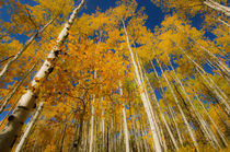 Aspens Reaching for the Sky von Barbara Magnuson & Larry Kimball