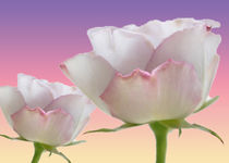romantic roses by Martina Weidner