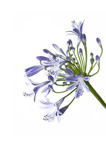 Schmucklilienblüte - agapanthus africanus - african lily by monarch