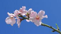 Mandelblüten - Prunus dulcis - almond flowers von monarch
