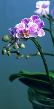 Orchidee von Falko Follert
