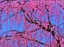 Weeping Cherry Blossoms 2 by Deborah Willard