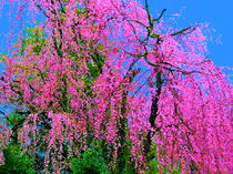 Weeping Cherry 1 by Deborah Willard
