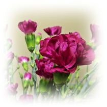 Carnations by sharon lisa clarke