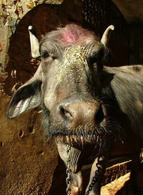 Annointed Water Buffalo by serenityphotography