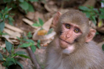 Young-rhesus-macaque-with-food-in-cheeks-04