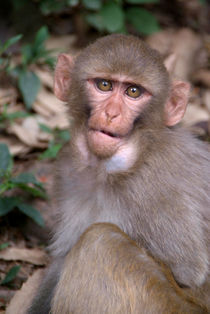 Young-rhesus-macaque-with-food-in-cheeks-12