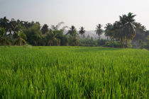 Rice-paddy-field-hampi