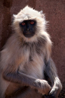Langur-monkey-at-ranthambore-fort