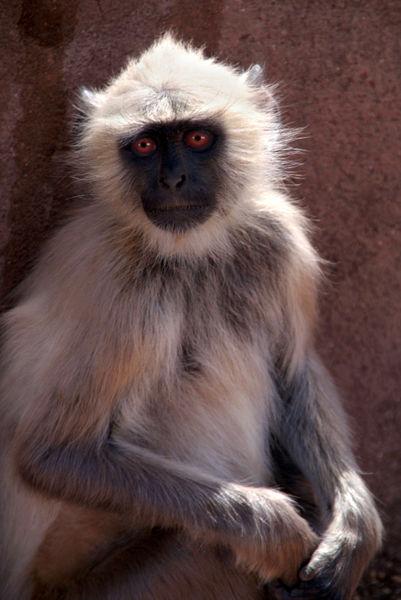 Langur-monkey-at-ranthambore-fort