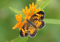 Pearl Crescent on Butterfly Weed Flowers 2 von Robert E. Alter / Reflections of Infinity, LLC