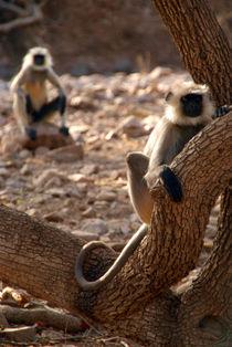 Langur Monkey in Tree Ranthambore von serenityphotography