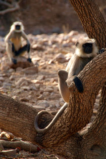 Langur-monkey-in-tree-ranthambore-03