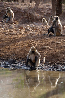 Langur-monkeys-at-waterhole-ranthambore