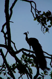 Silhouette-of-peacock-in-tree-ranthambore