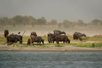 Water Buffalo on the Banks of the Ganges by serenityphotography
