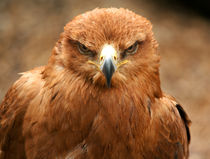 Tawny Eagle by deanmessengerphotography