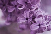 Lilac III by Heidi Bollich