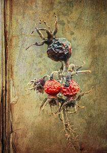 Wildrose (Hagebutten) von Bernhard Kosten