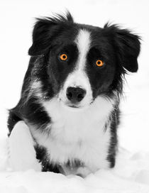 Bright-Eyed Border Collie by Debra  Carr Brox